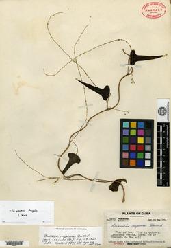 Image of Dioscorea nipensis