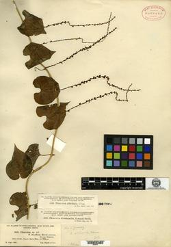 Dioscorea albicaulis image