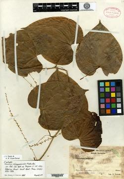 Image of Dioscorea chiapasensis