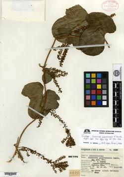 Image of Dioscorea guerrerensis