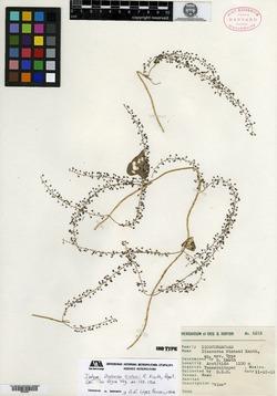 Image of Dioscorea hintonii