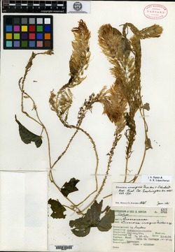 Image of Dioscorea insignis