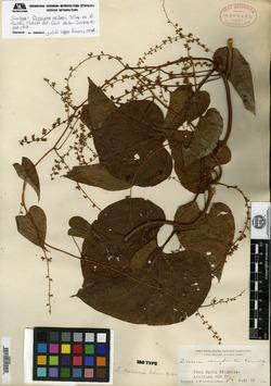 Image of Dioscorea nelsonii