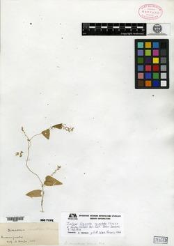 Image of Dioscorea nematodes