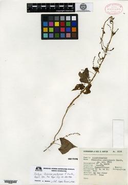Dioscorea pantojensis image