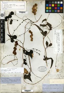 Image of Dioscorea cubensis