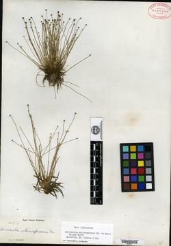 Eriocaulon echinospermum image