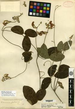 Image of Canavalia palmeri