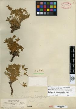 Image of Lupinus brachypodus