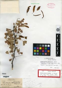 Haematoxylum boreale image
