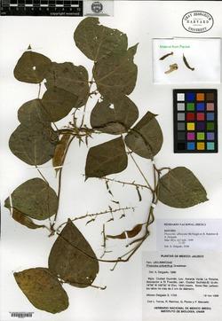 Image of Phaseolus albescens