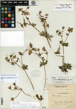 Image of Geranium attenuilobum