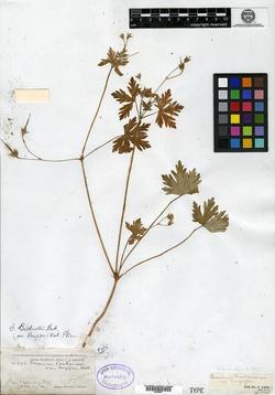 Geranium carolinianum var. longipes image