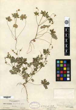 Geranium nemorale image