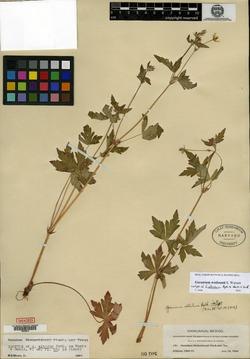 Geranium albidum image