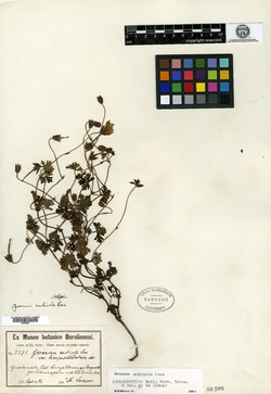Geranium andicola image