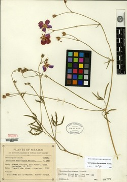 Image of Geranium charucanum