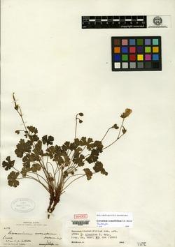 Image of Geranium crenatifolium