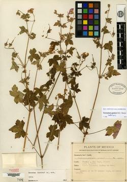 Image of Geranium gentryi