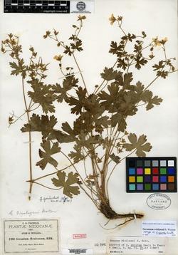 Image of Geranium geoides