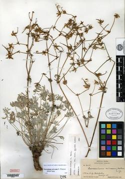 Image of Geranium niveum