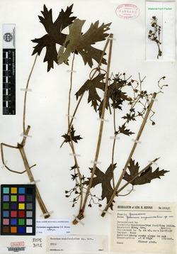 Geranium unguiculatum image