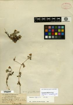 Geranium quinquelobum image