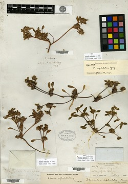 Phacelia cephalotes image