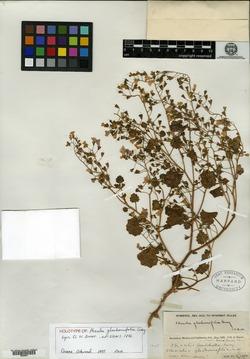 Phacelia glechomifolia image