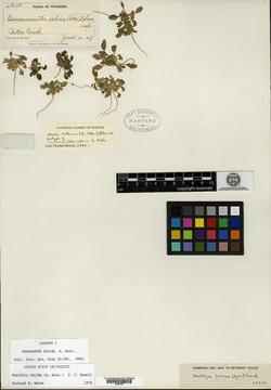 Phacelia salina image