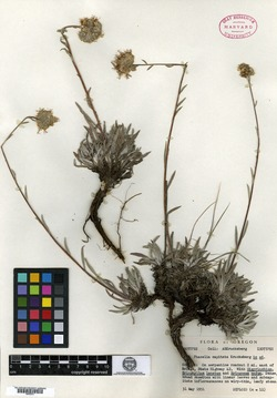Image of Phacelia capitata
