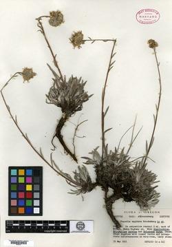 Image of Phacelia capitata