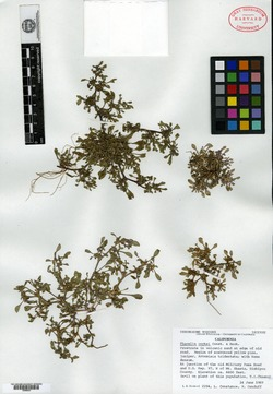 Image of Phacelia cookei