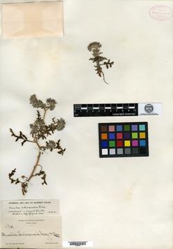 Image of Phacelia cedrosensis