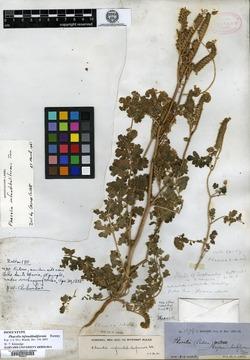 Image of Phacelia infundibuliformis