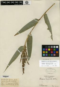 Image of Chusquea lanceolata