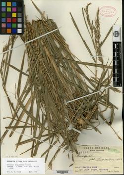 Image of Chusquea longifolia