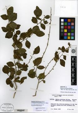 Image of Badiera propinqua