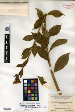 Image of Monnina guatemalensis