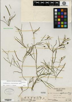 Image of Potamogeton clystocarpus