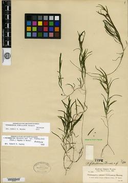 Image of Potamogeton fibrillosus