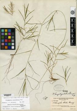 Potamogeton longiligulatus image