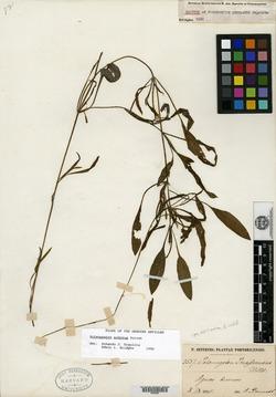 Image of Potamogeton insulanus
