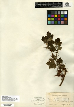 Image of Ribes hystrix