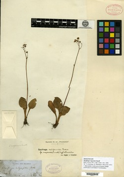 Image of Saxifraga napensis