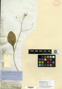 Saxifraga napensis image