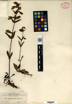 Penstemon arizonicus image