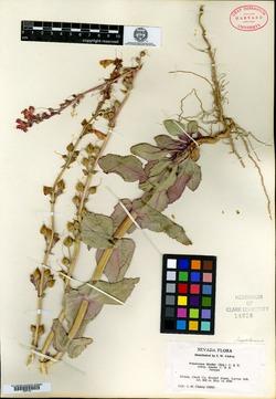 Penstemon bicolor image