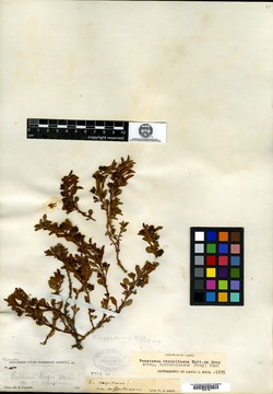Penstemon caespitosus var. suffruticosus image