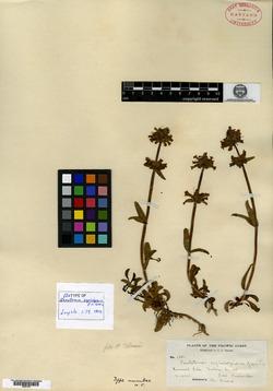 Image of Penstemon cephalophorus
